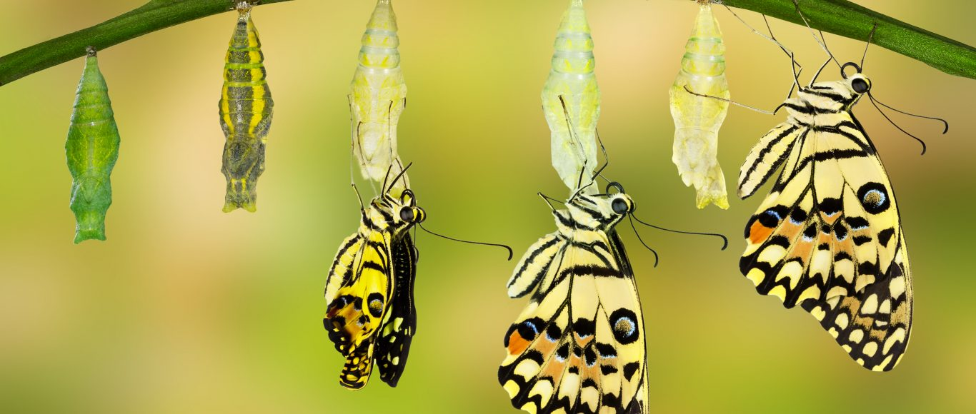 Photo of a cocoon transforming into a butterfly
