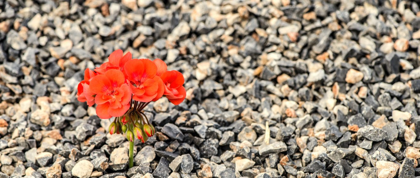 Photo of a flower growing in some stones